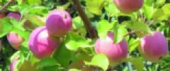 Wgryź się w jabłuszko