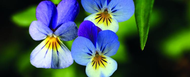Fiołek trójbarwny (Viola tricolor)