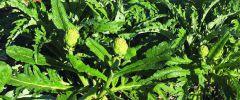 Rośliny  regenerujące organizm
