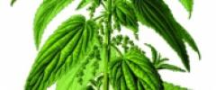 Pokrzywa zwyczajna (Urtica dioica)