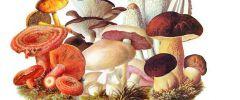 Lecznicze właściwości grzybów
