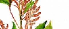 Szarłat wyniosły (Amaranthus cruentus)