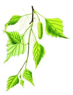Iglaste i liściaste
