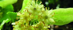Lipa drobnolistna (Tilla mordata) Lipa szerokolistna (Tilla platyphyllos)