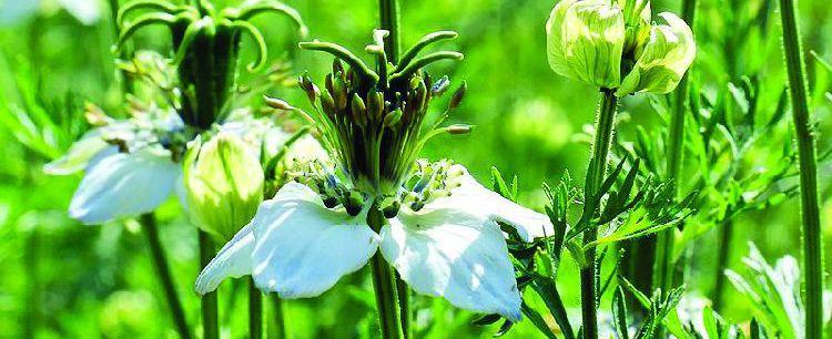 Czarnuszka siewna  (Nigella sativa L.)