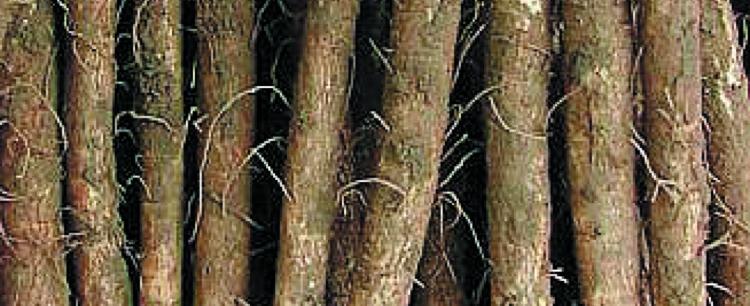 Łopian większy (Arctium lappa)