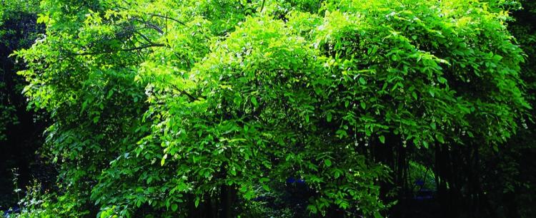 Kłokoczka (Staphylea pinnata L.)