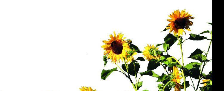 Słonecznik  zwyczajny  (Helianthus annuus)