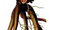 Żywokost lekarski (Symphytum officinale)