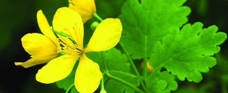Glistnik jaskółcze ziele (Chelidonium maius)