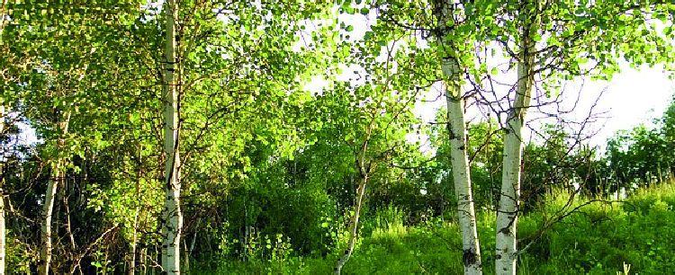 Kora i pąki drzew