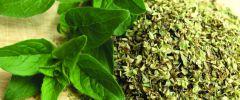 Oregano – zielony antybiotyk