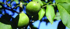 Orzech włoski – liście i naowocnia