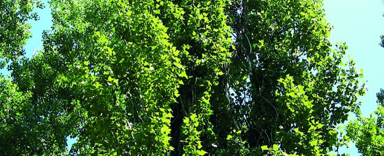Topola czarna (Populus nigra)