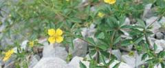 Pięciornik kurze ziele