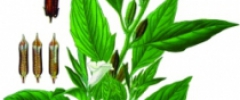 Sezam (Sezamum L.)
