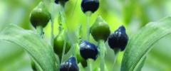 Rośliny biblijne w naszych ogrodach