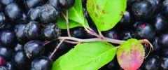 Niebieskie owoce zapobiegają procesom starzenia