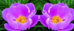 Zioła pomocne w menopauzie