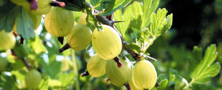 Kłujący przysmak – agrest (Grossularia reclinata)