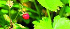 Poziomka – zdrowie z natury