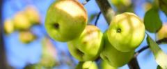 Octy jabłkowe