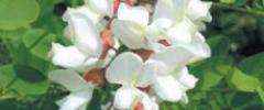 Robinia akacjowa, zwana potocznie akacją