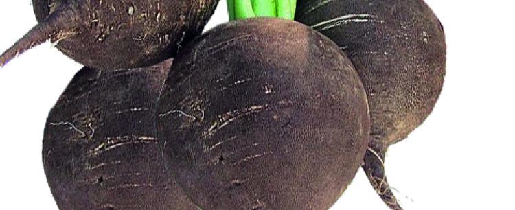 Czarna rzodkiew (Raphanus dativus Varietas niger)