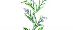 Zioła kontra borelioza