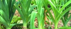 Por (Allium porrum)
