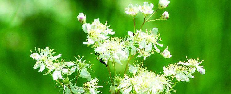 Wiązówka błotna  – naturalna aspiryna