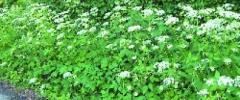 Podagrycznik pospolity (Aegopodium podagraria)