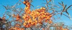 Rokitnik - skarb ciernistych krzewów