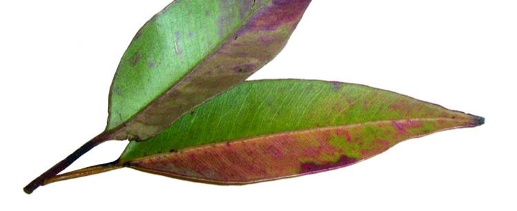 Eukaliptus (Eucalyptus globulus) - przysmak misia koali