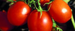 Pomidor (Lycopersicum esculentum)