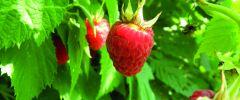 Maliny – smaczne i zdrowe owoce lata
