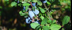 Niebieskie owoce zapobiegają procesom starzenia (cz. II)
