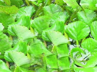 Kotewka orzech wodny (Trapa natans)– orzech dla zakochanych