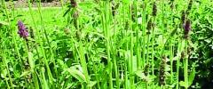 Czyściec bulwiasty (Stachys affinis)