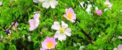 Dzika róża – bomba witaminowa