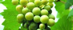 Winorośl właściwa