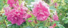 Róża - dla zdrowia