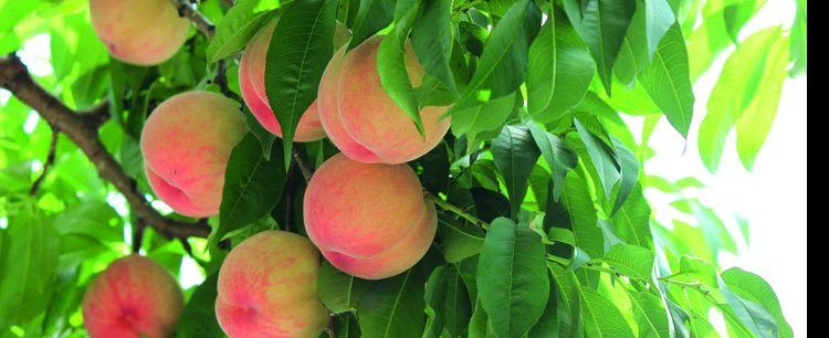 Brzoskwinia  – owoc cenniejszy niż złoto…