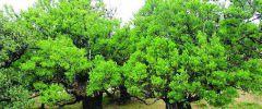 Drzewo laurowe  (Wawrzyn)