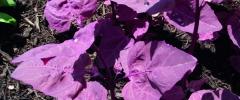 Łoboda ogrodowa (Atriplex hortensis)