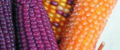 Kukurydza zwyczajna (Zea mays)