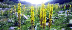 Dziewanna wielkokwiatowa  – nie tylko na kaszel…