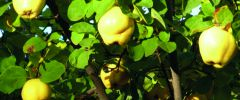 Pigwa – polska cytryna